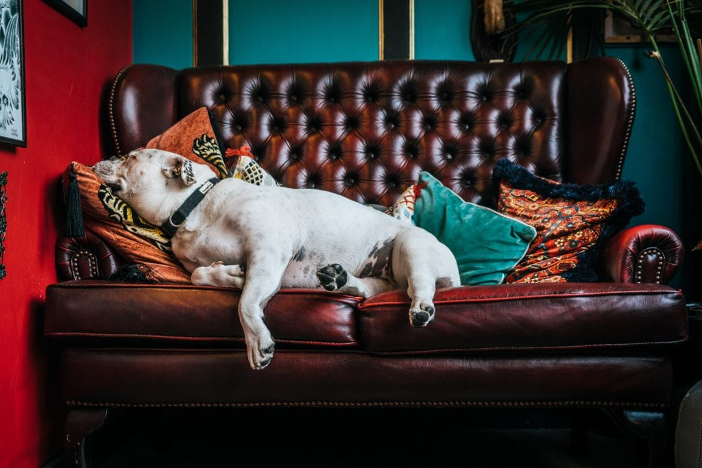 dog lounging on a leather couch